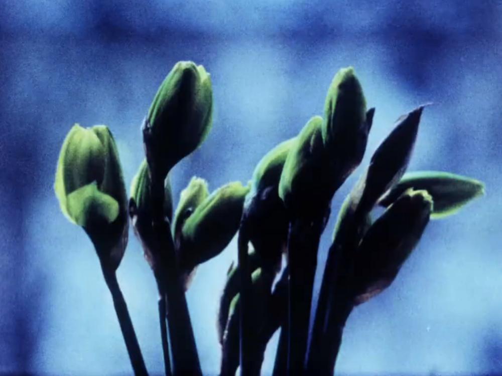 Narcissi    Shiloh Cinquemani  2013 / 3 minutes / USA / 16mm  /  silent  A Berlin spring still-life. -SC