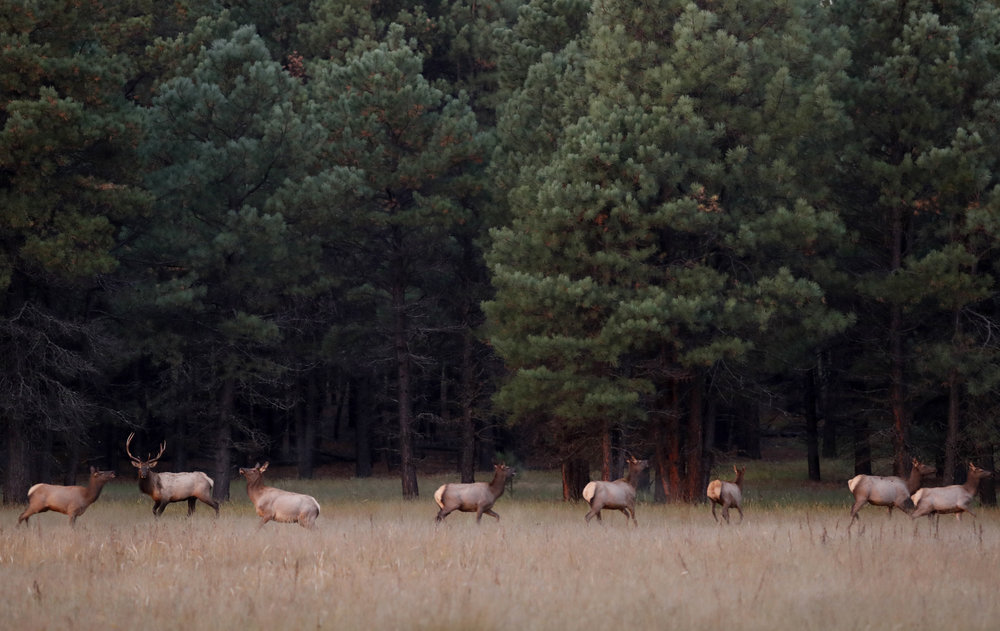 Elk run in a pasture at dawn on Saturday, Oct. 1, 2016, near Flagstaff, Ariz. (Kevin Martin)