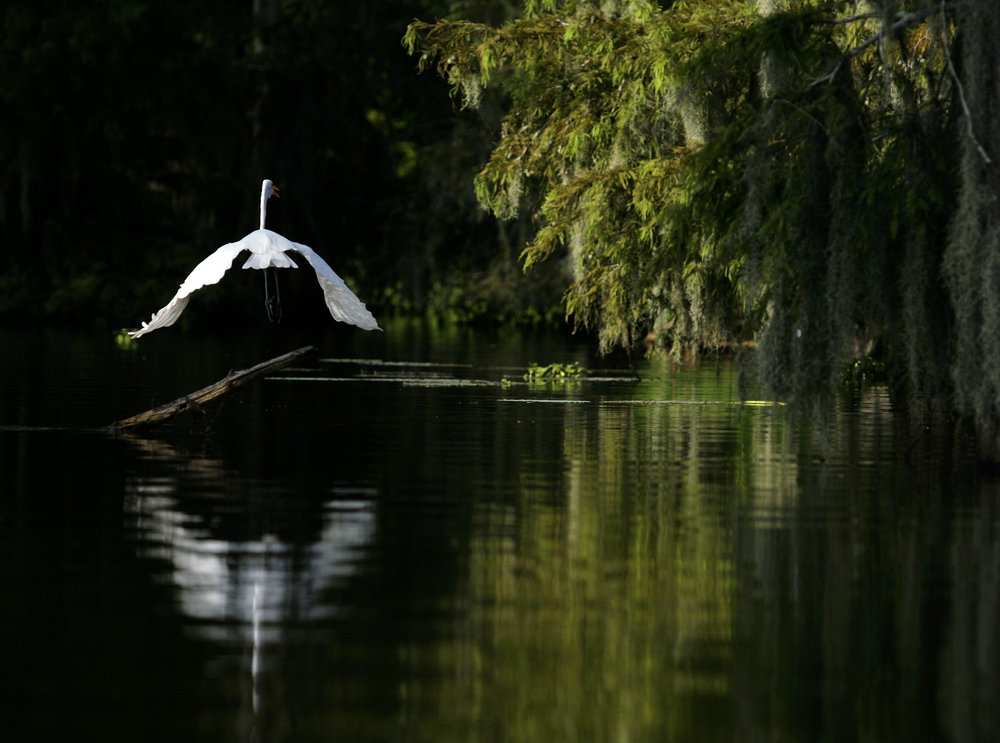 An egret takes flight at Lake Martin on Saturday, August 16, 2010, near Breaux Bridge, La. (Kevin Martin)