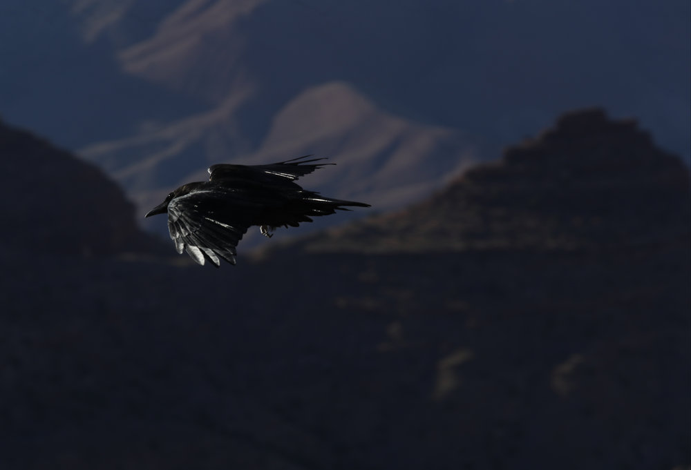 A raven flies over the Grand Canyon at Lipan Point  in the South Rim of the Grand Canyon National Park, Friday, Oct. 14, 2016, in Arizona. (Kevin Martin)