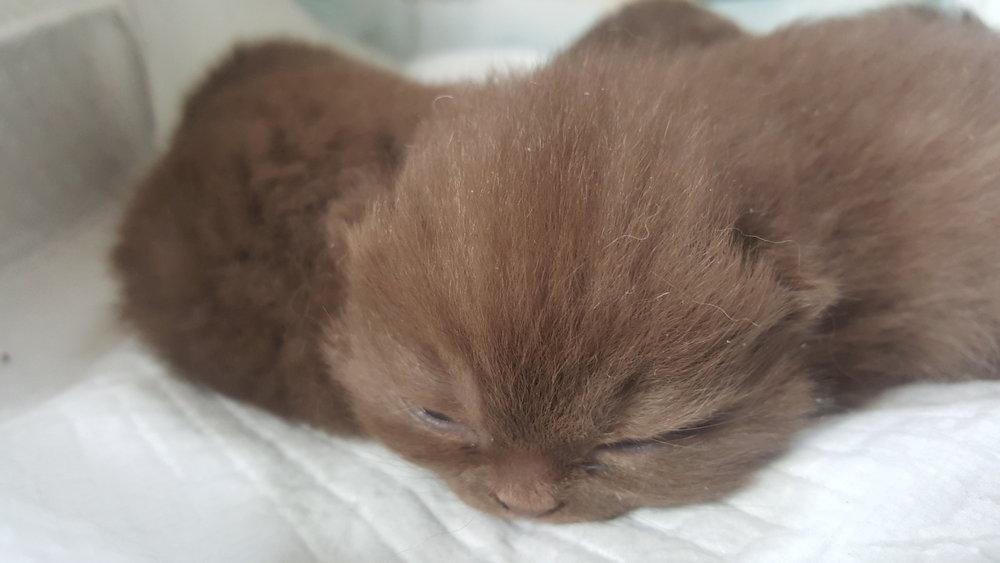 chocolate kittens