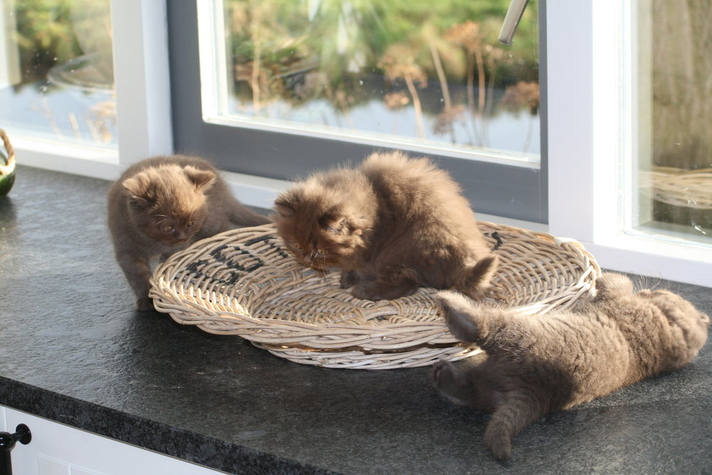 cholocolate kittens britse korthaar