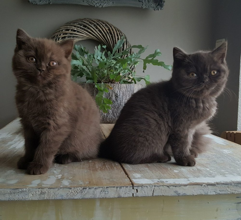 Britse korthaar kittens choco
