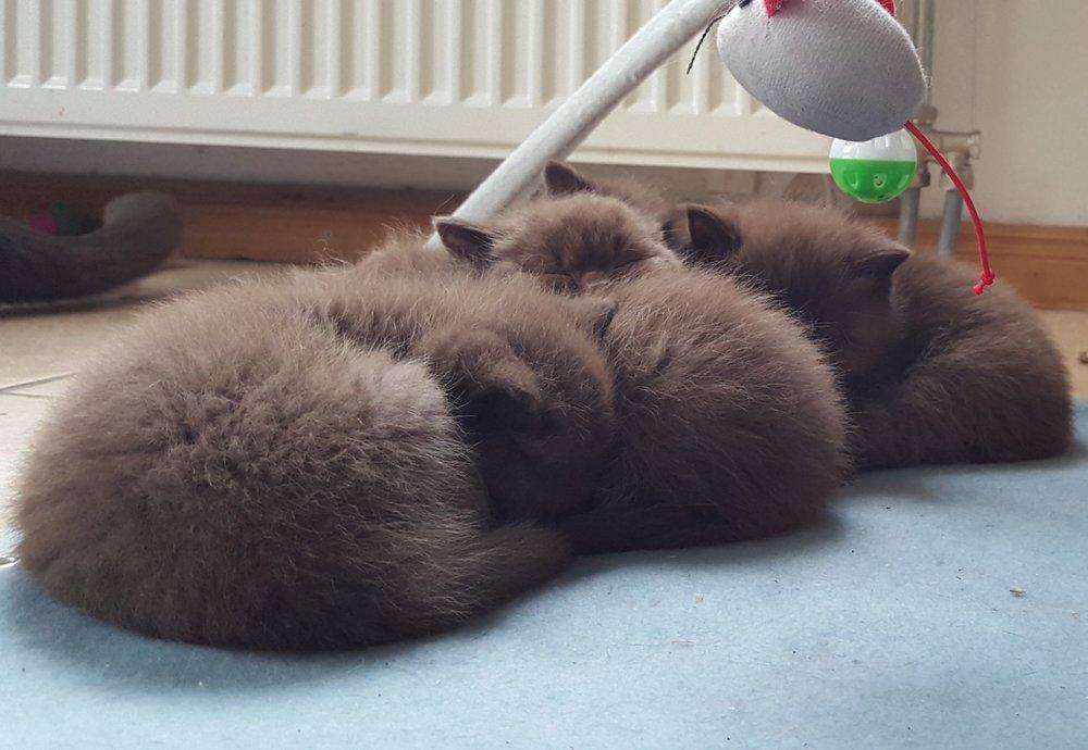 britse korthaar kittens.jpg
