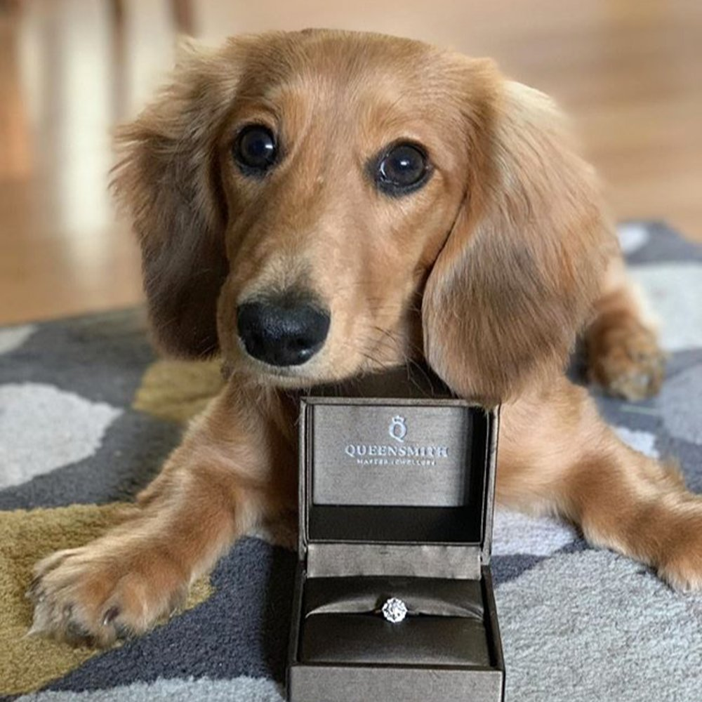 @ arlominidachshund  posing angelically with his pawrent's  Rainer  engagement ring, by Queensmith