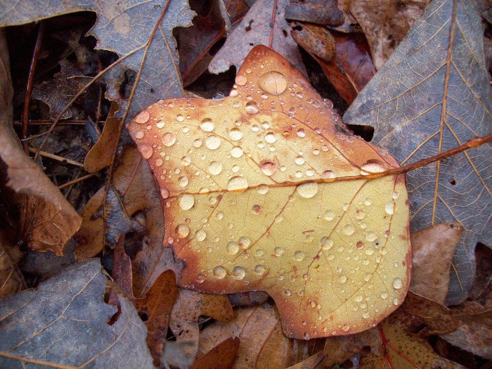 A Golden Leaf - Meriana Gallant.JPG