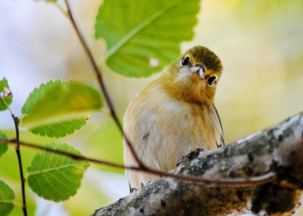 Bay-Breasted Warbler - Allison Stoiser.JPG