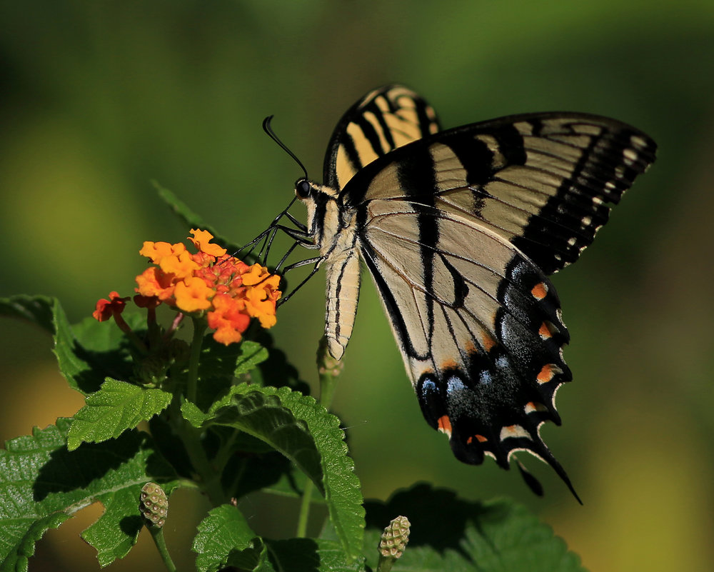 Eastern Tiger Swallowtail.jpg