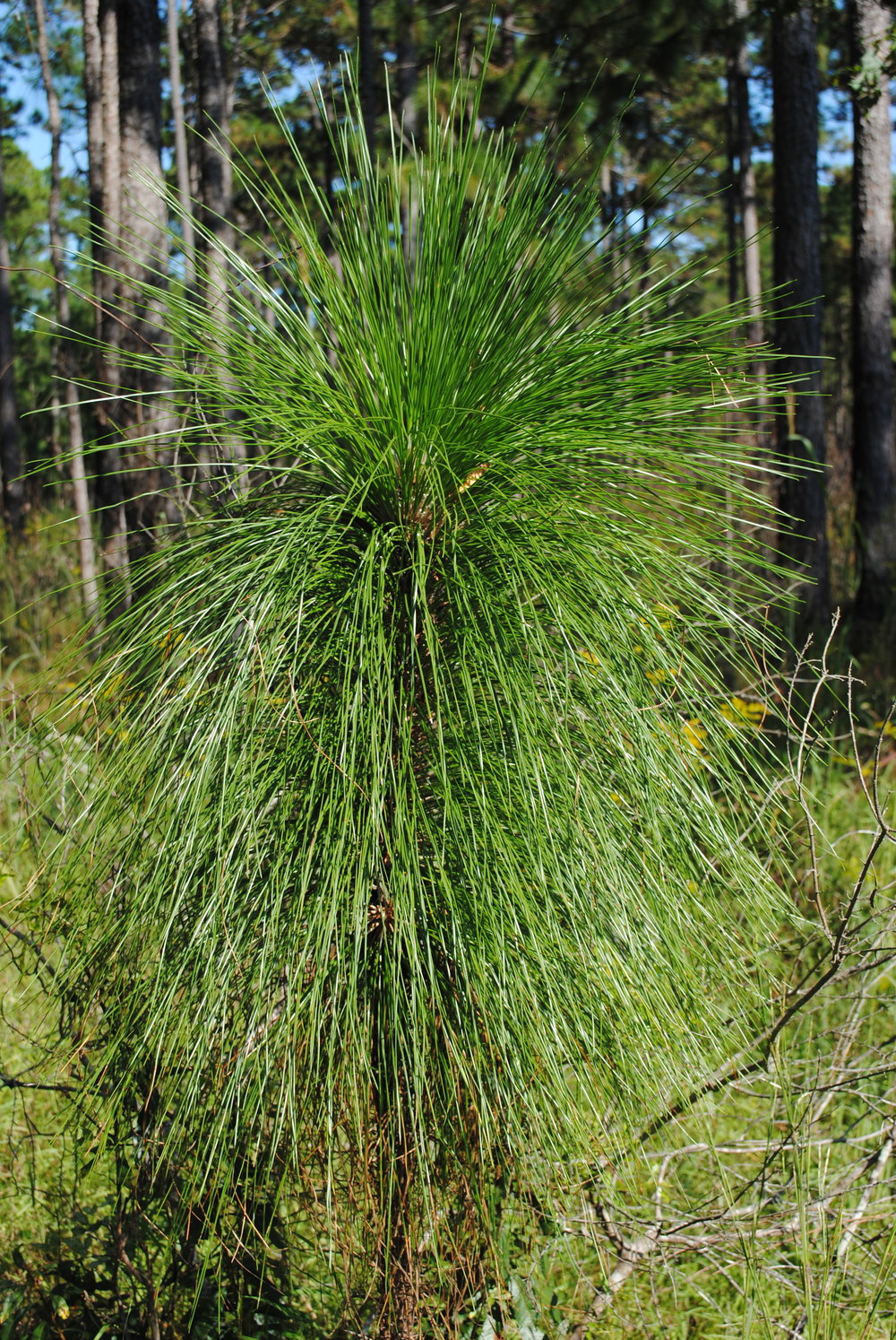 longleaf pine program south carolina wildlife federation
