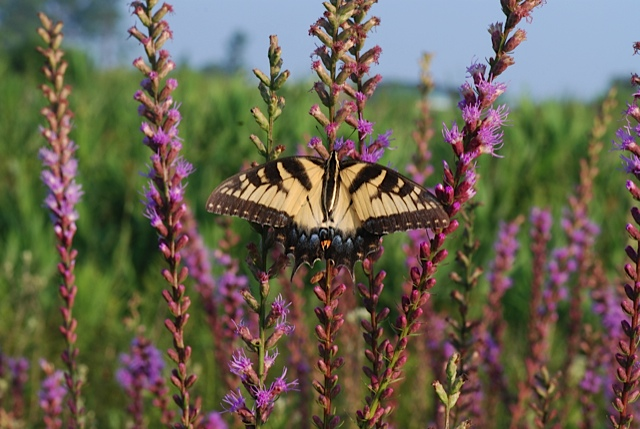 Photo by Austin Jenkins  [Image Description] A black and yellow butterfly pollinating on a purple plant.