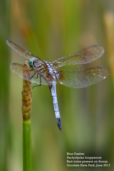 Blue Dasher-L by Andrew Lazenby.jpg