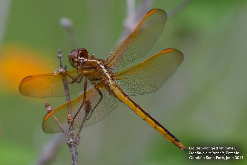 Golden Winged Skimmer Female-XL by Andrew Lazenby.jpg