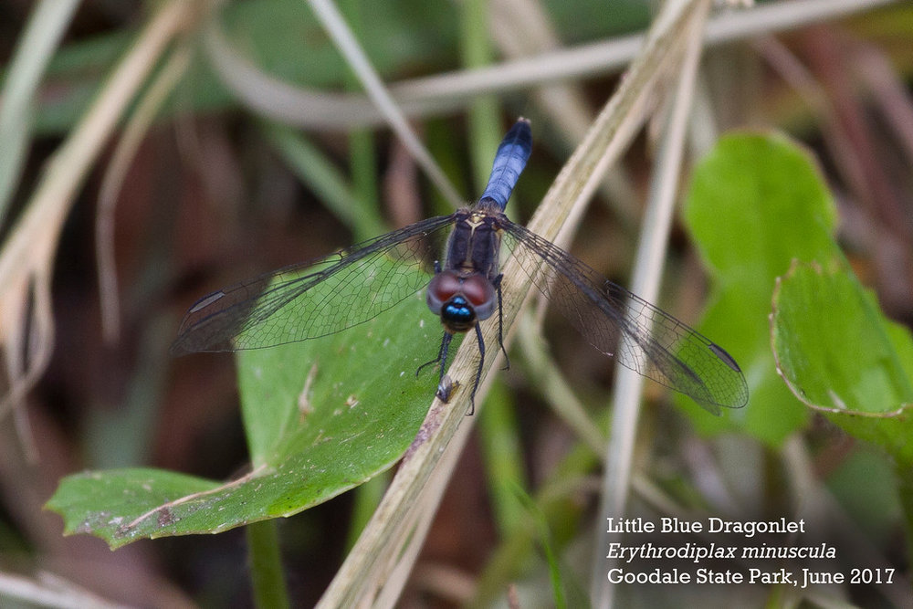 Little Blue Dragonlet male-XL by Andrew Lazenby.jpg