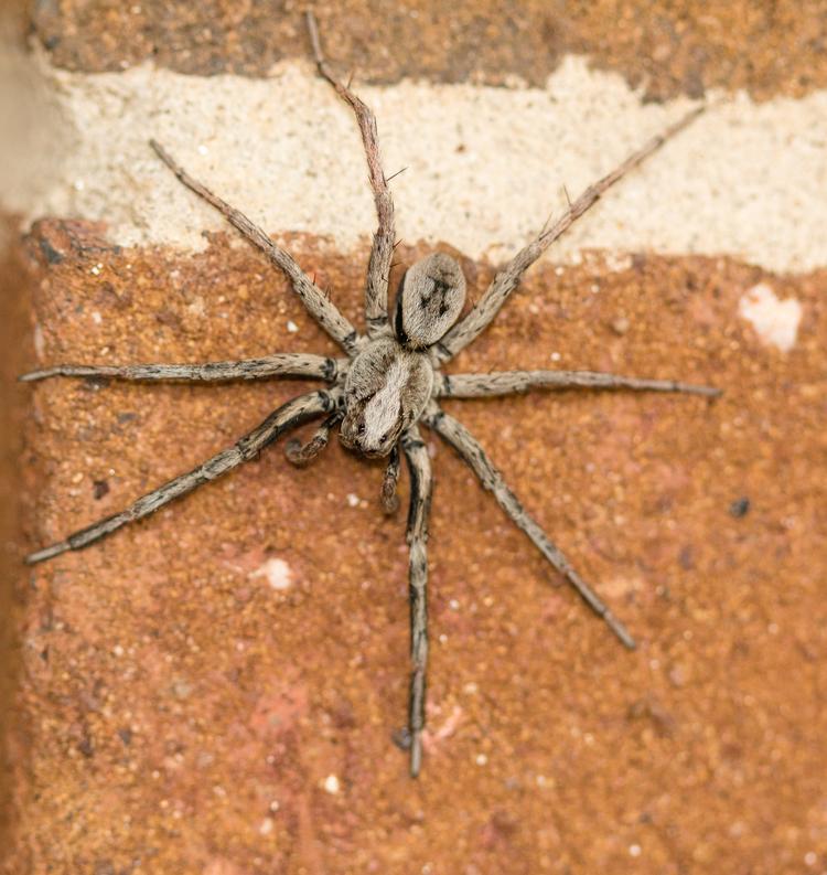 Carolina Wolf Spider by Craig Williams