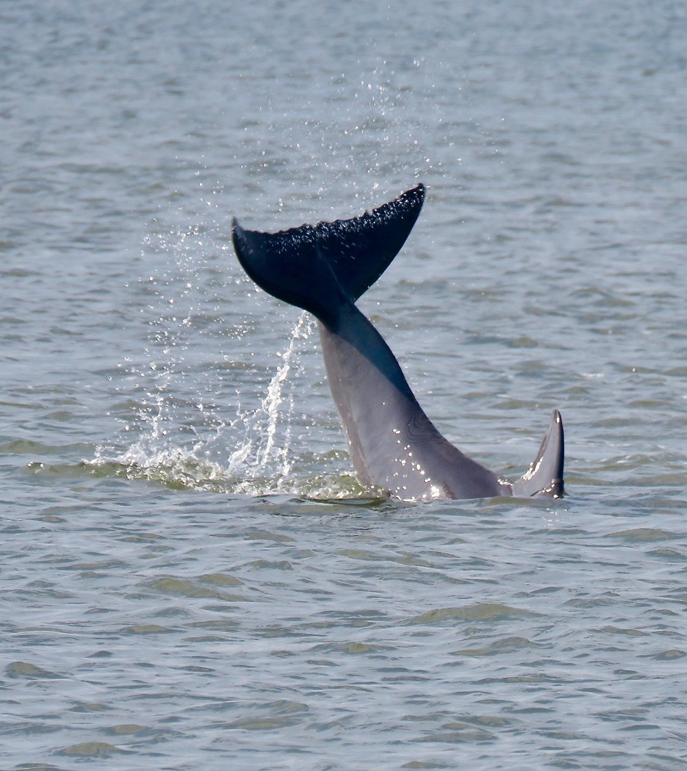 Dolphin Slapping Its Tail by Laurie Walden.jpg