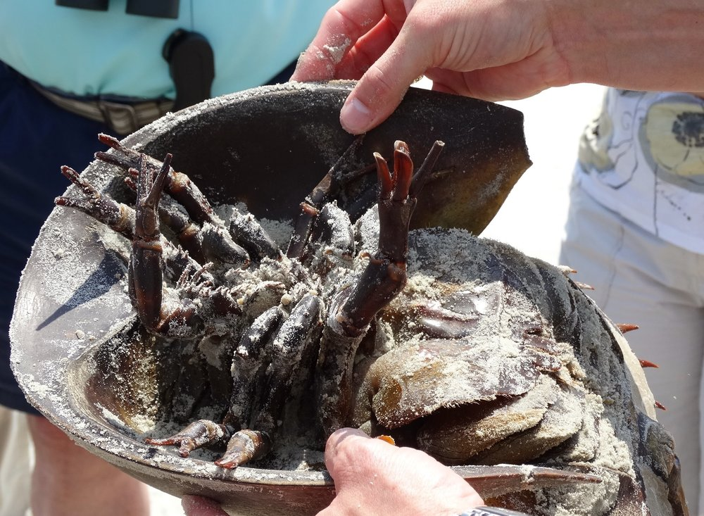 Horseshoe Crab.jpg