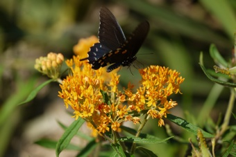 Asclepias tuberosa , Butterfly Milkweed  Photo credit, Clemson Extension
