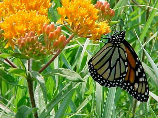 A. tuberosa - Butterfly weed