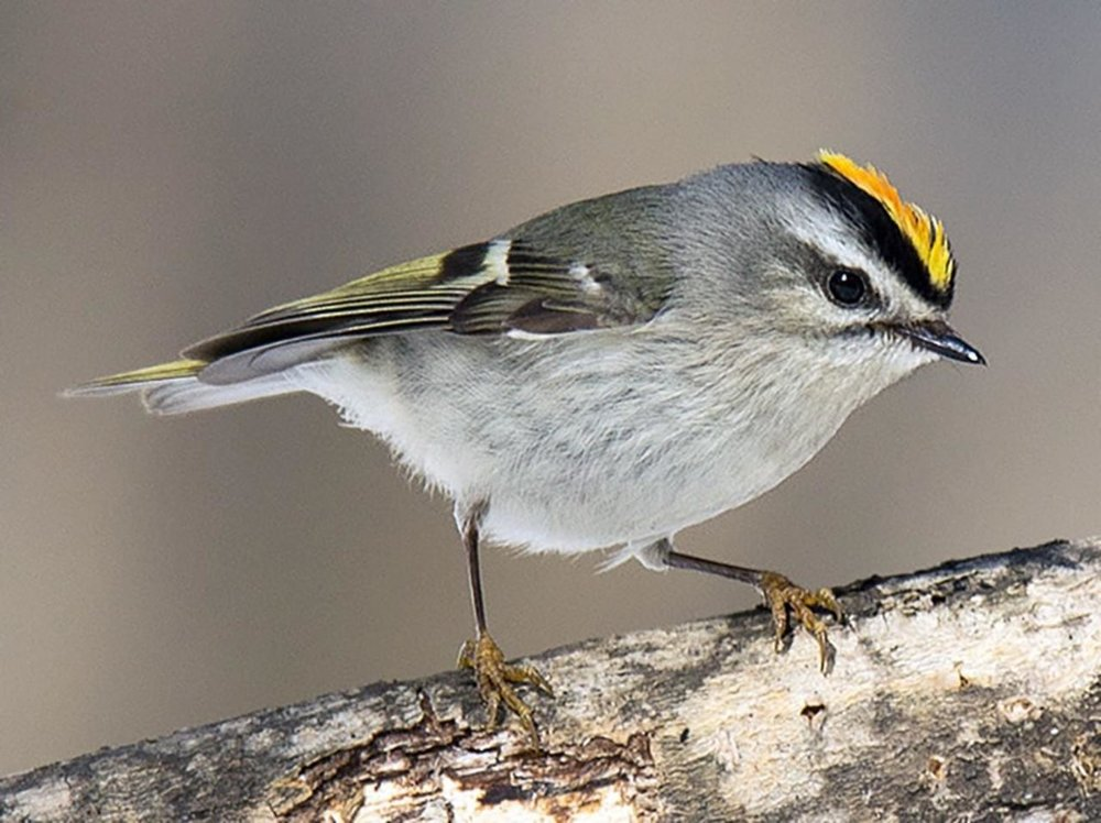 Golden-crowned kinglet, photo from Allaboutbirds.org