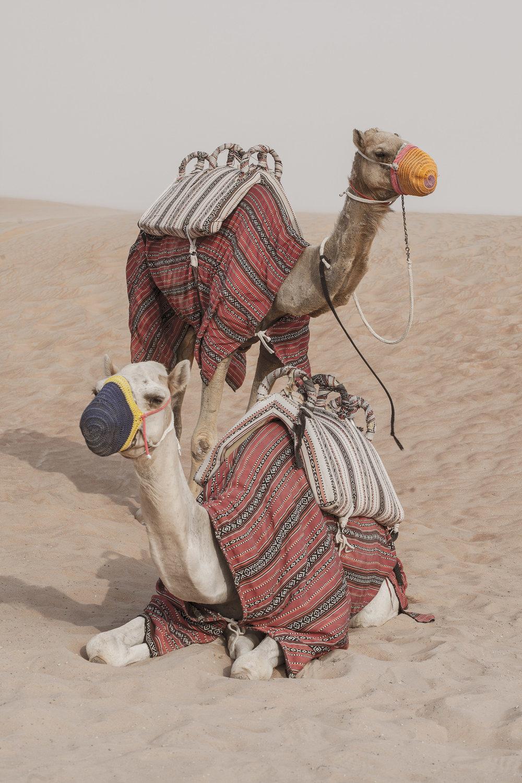 Camel_DubaiDesert_MG_7762.jpg