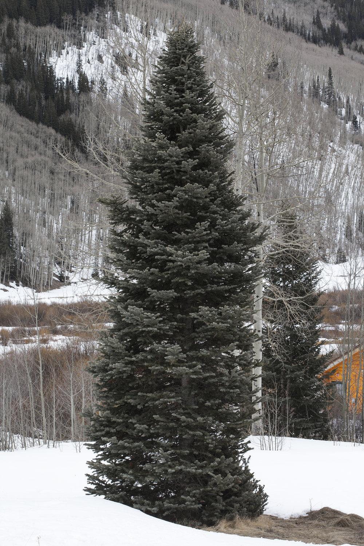 Tree_Aspen_MG_7681.jpg