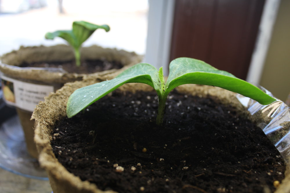Giant pumpkin seedlings