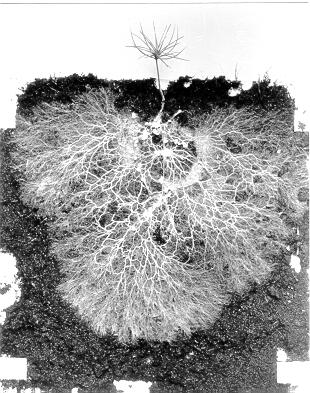 Network of mycorrhizae branching out from the plant's roots.