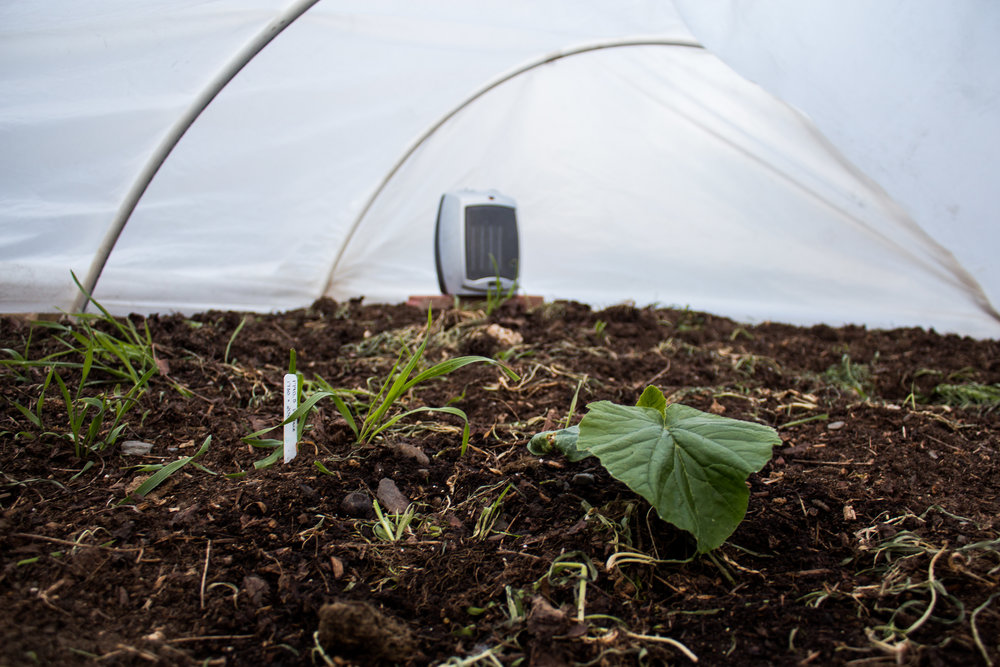 The 1790.5 Wallace getting spoiled in its heated hoop house. There are a few pieces of winter rye that I still need to pull up (yay nitrogen!).