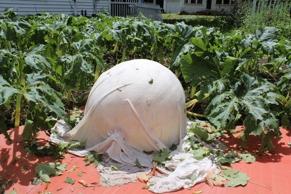 This is what my other pumpkin plant looked like. The hail destroyed everything.
