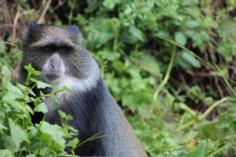 Monkey at Big Tree Camp
