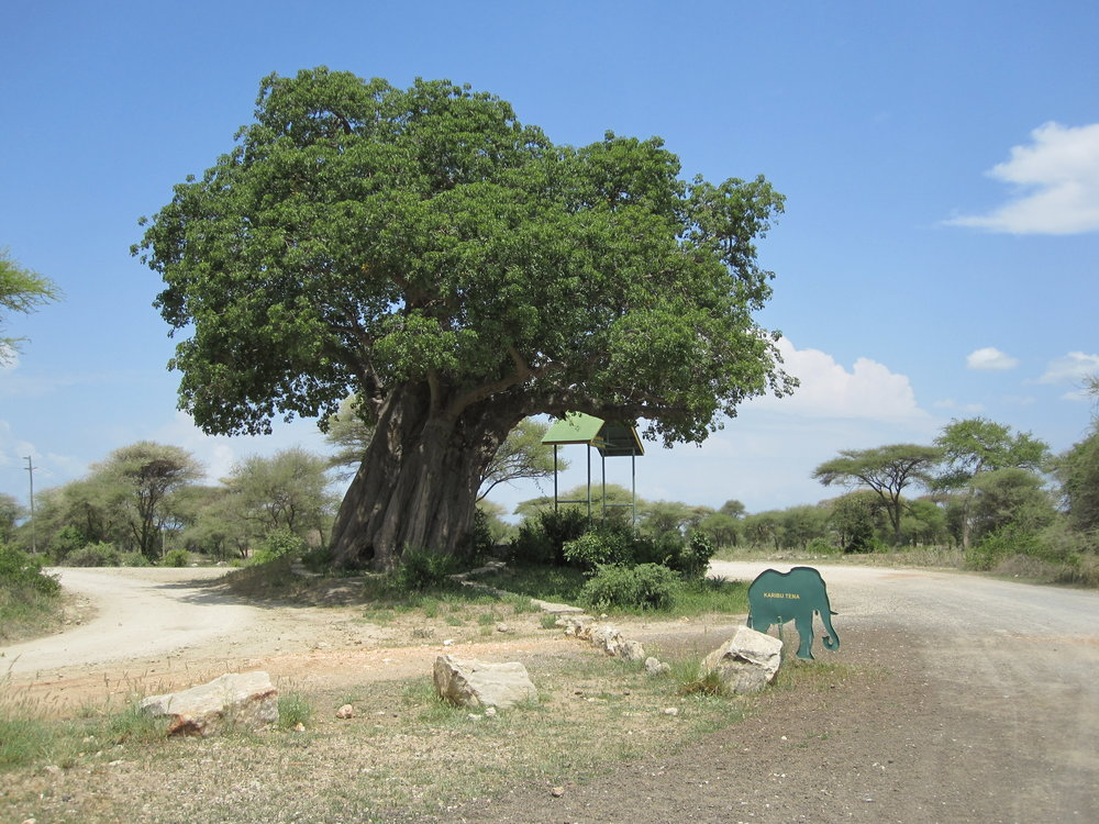 Baobab tree at Tarangire National Park in Tanzania.