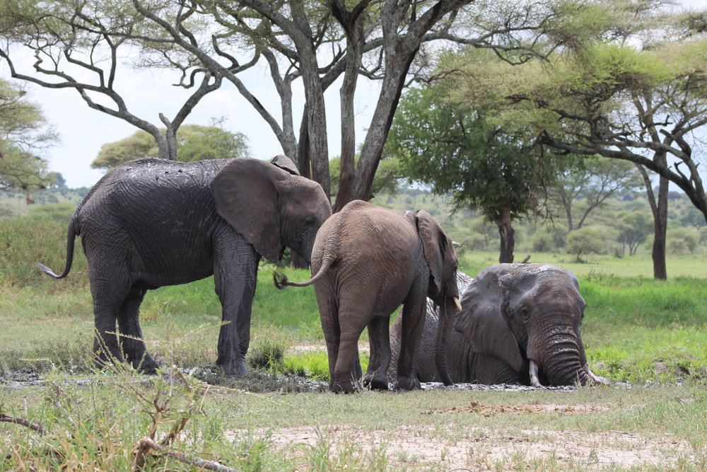 Elephants bathing at Tarangire
