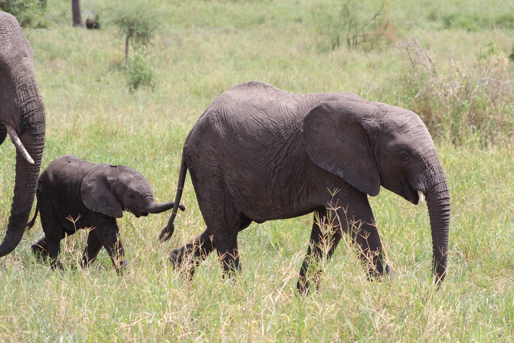 Baby elephant at Tarangire National Park