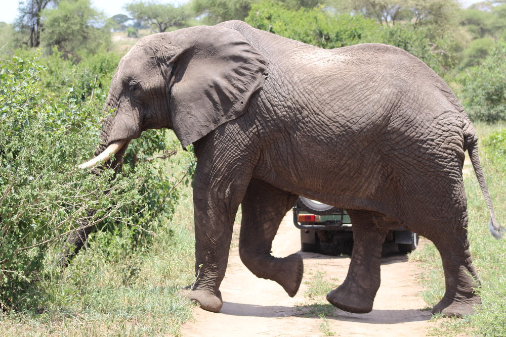Elephant walking in front of our safari vehicle.