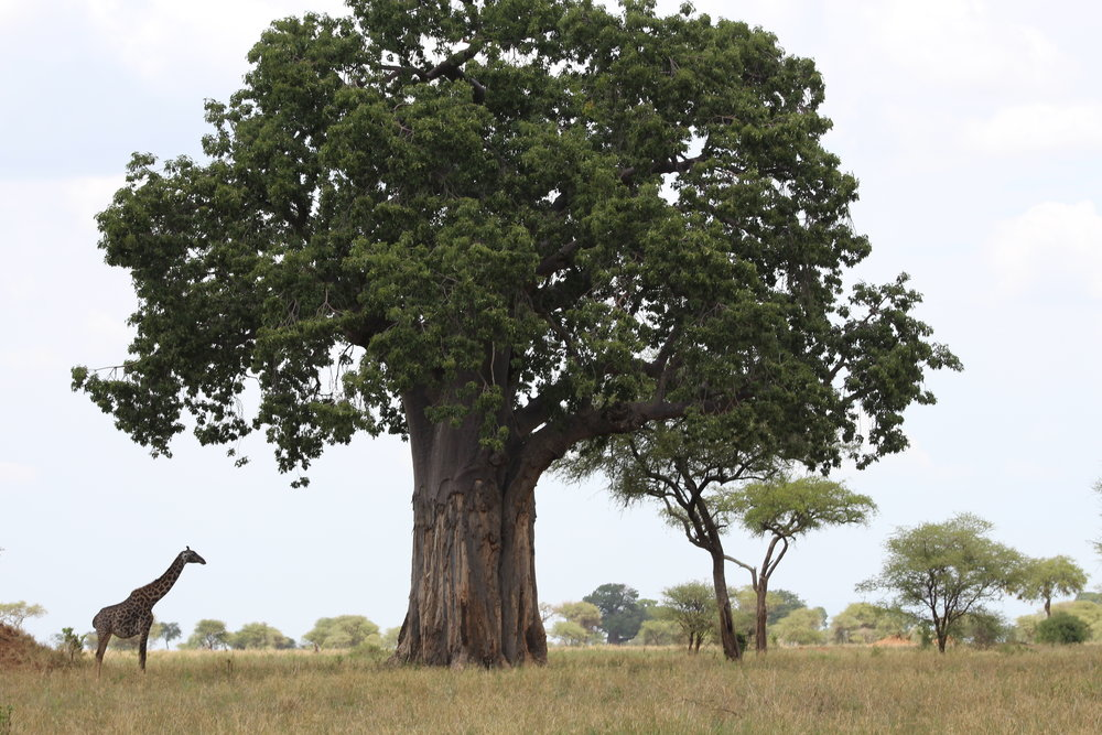 Giraffe under Baobab Tree