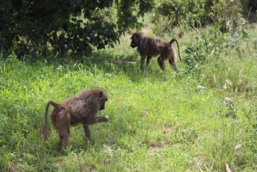 Olive baboons exploring