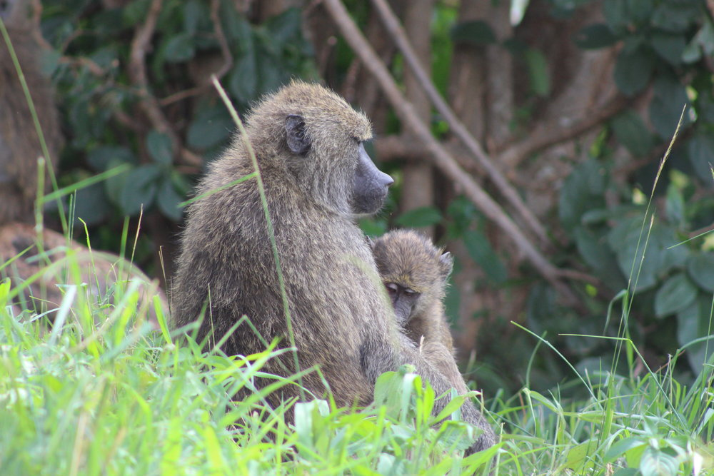 Olive baboon mom and baby