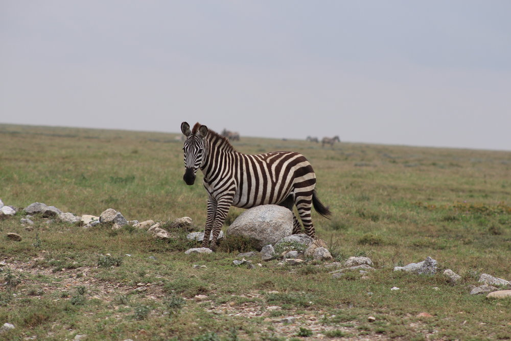 Zebra scratching his belly on a rock