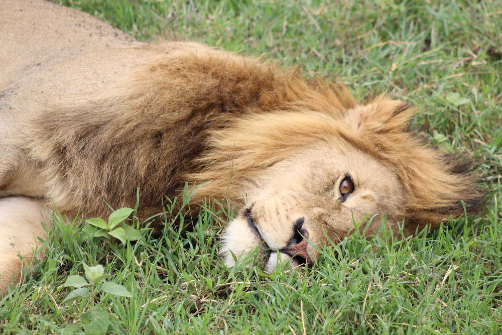Close-up of a male lion at Ngorongoro Crater