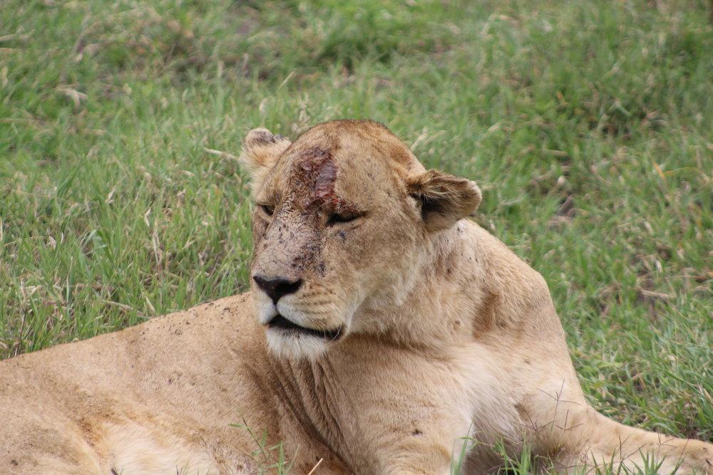 Mangled female lion at Ngorongoro Crater