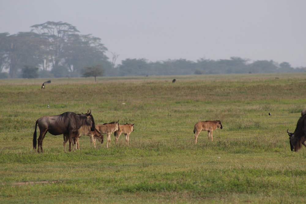 Wildebeest and babies