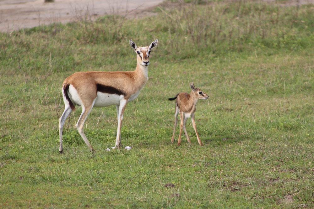 Female gazelle and baby