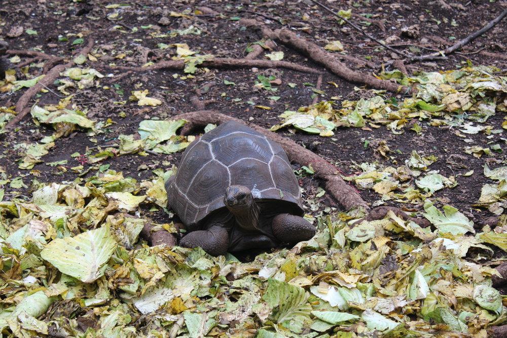 Tortoise on Prison Island