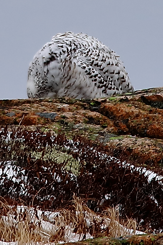 Snowy owl on Sargent Mountain in Acadia National Park.