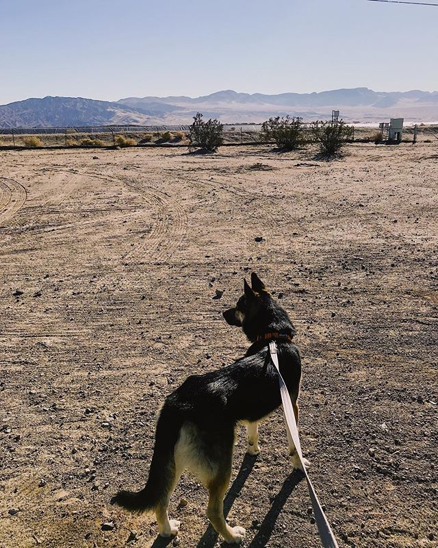 "A German surveys the American Southwest.  I've grown quite fond of this good good boy (who I've decided to temporarily name George). But today he meets his #foreverfamily in Colorado (after this 12 hour road trip). He was set to be put down because he had a bum back leg, but @ataleof2pitties said ""eff that"" and posted about him @blkatk9 stepped in to coordinate his adoption as usual, and @kittykasa agreed to adopt! All told he stayed with me for 3.5 days but that's all it took to realize that he's one of the best dogs I've ever met. And now @throughthesprawl and I are driving him from LA to Colorado!  Tally ho!"