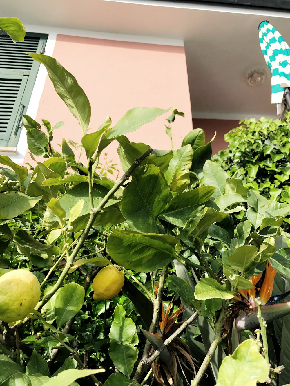 Lemon trees at Hotel Porto Roca