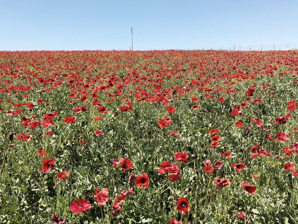 italy-poppy-field.jpg