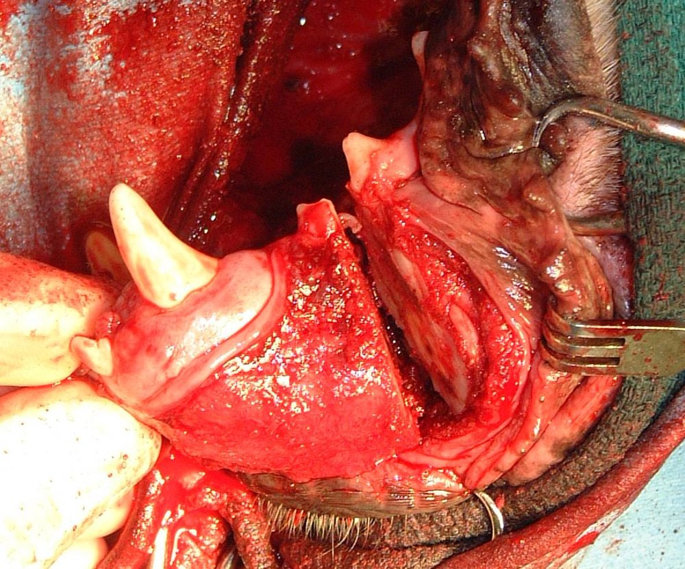 UNILATERAL ROSTRAL MANDIBULECTOMY