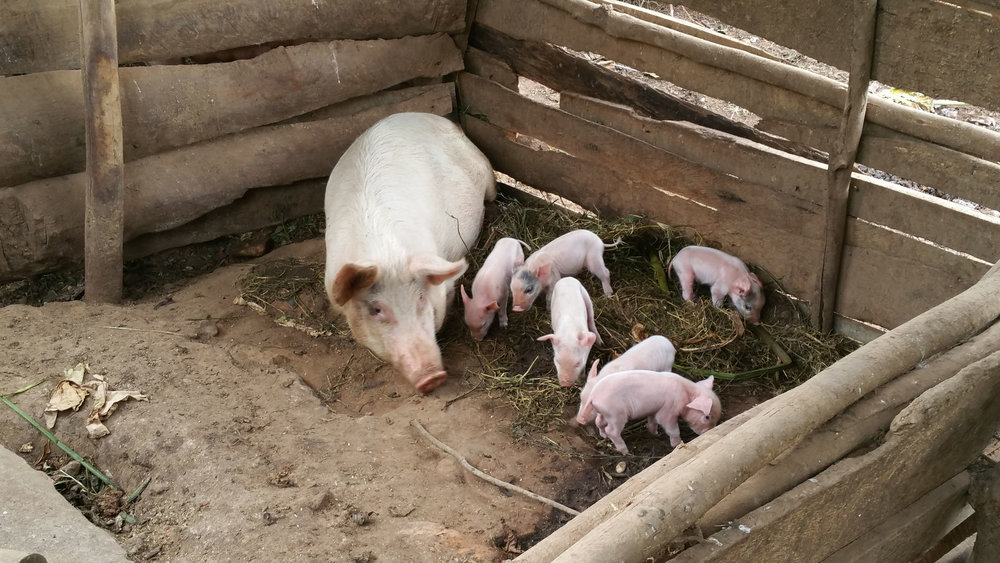 Sow and piglets 2.jpg