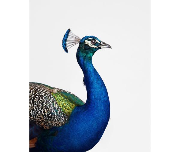 randal ford peacock print